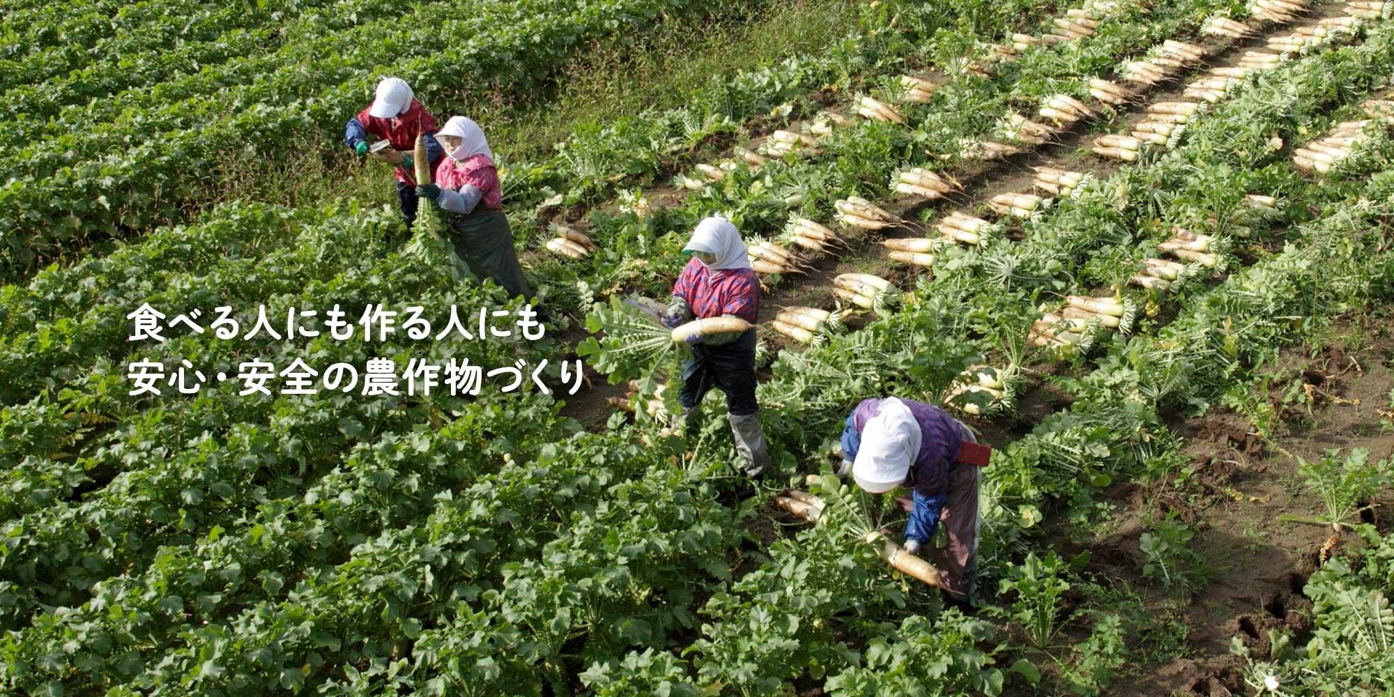 青首大根の生産(青森県つがる市・秋田県鹿角市)